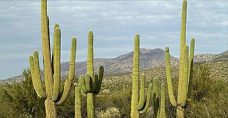saguaros,tucson,desert